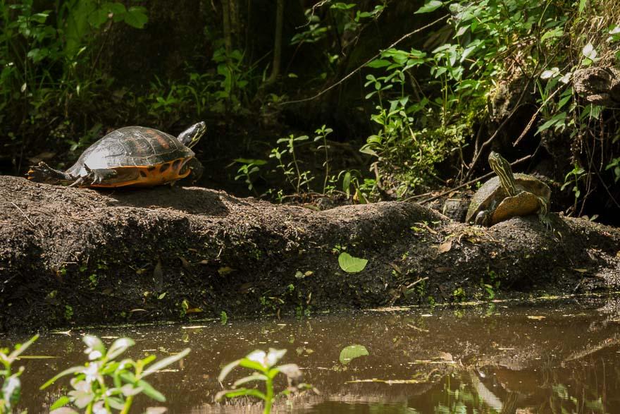 Two Turtles - Julington Creek