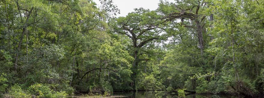 Old Growth Cypress - Lofton Creek